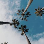 Image of some palms and the sky.
