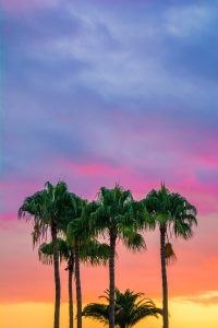 Image of some palms in Palm Beach Gardens.