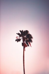 A palm tree.