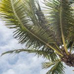 The treetop of a palm tree.