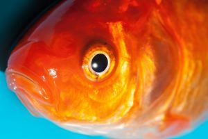 An image of a goldfish, zoomed into its eye.