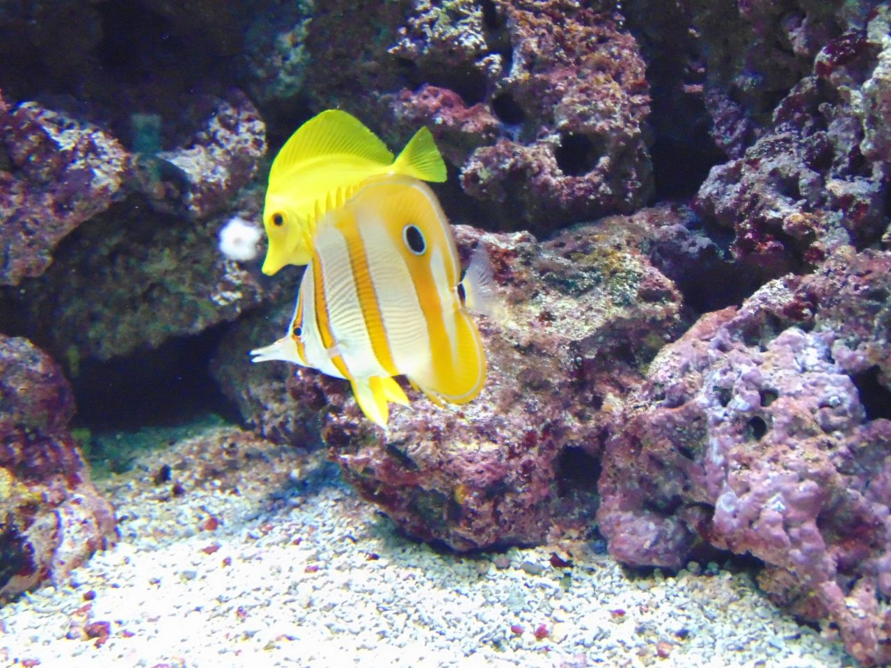 Two yellow fish swimming next to a coral reef.