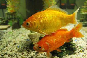 Two goldfish swimming near the bottom of an aquarium.