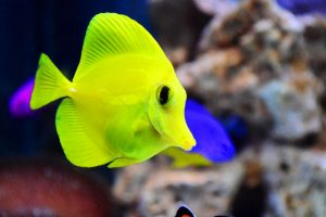 A small yellow fish, swimming after you're done moving an aquarium it lives in.