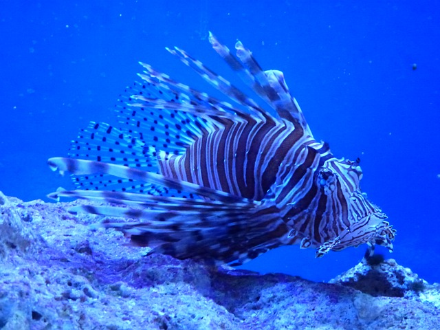 Lion Fish - something you might see after moving to Key Largo.