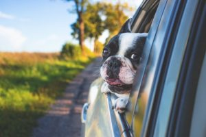 A dog in a car, if you want to help your pets adjust to a new home make sure you give them attention