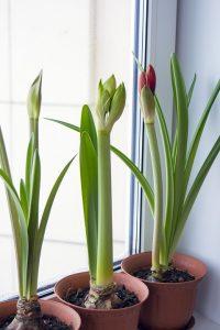 three amaryllis in three brown plant pots next to the window