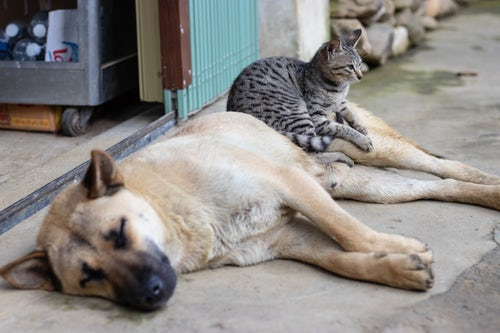 gray cat sitting on lying brown dog