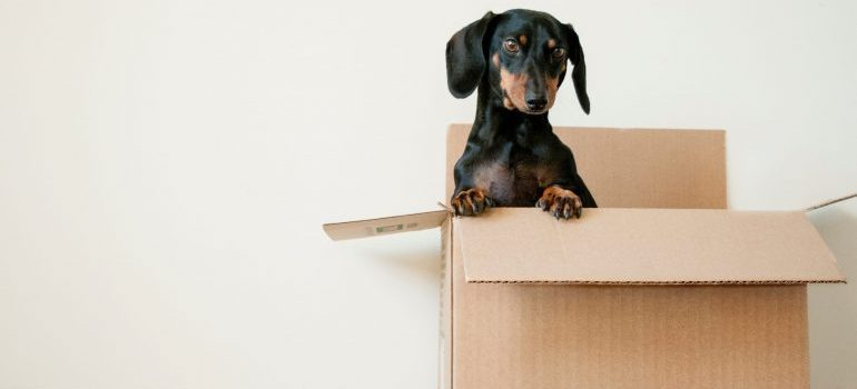 Moving equipment and supplies- a dog in a box